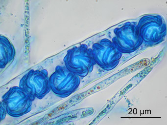Lamprospora moynei, ascus with ascospores stained with cotton-blue, Austria, Steiermark, leg. Gernot Friebes 2013-09-26